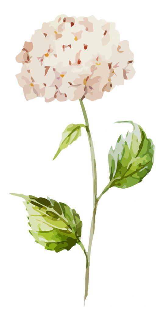 natural soft white Hydrangeas