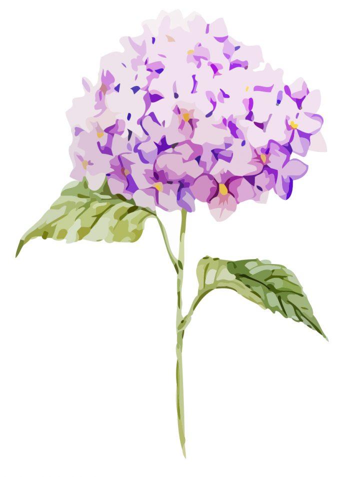 Lovely purple Hydrangeas