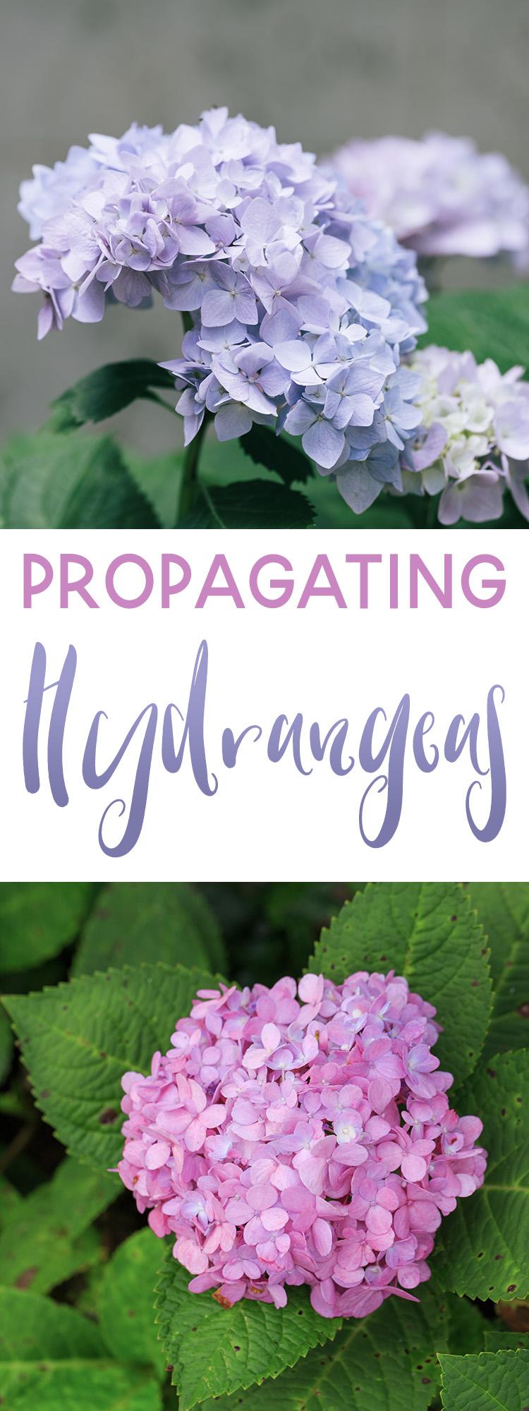 Propagating Hydrangeas 101 - Simple Tips for Propagating Hydrangeas