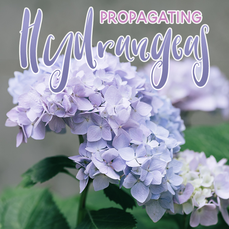 A Guide to Propagating Hydrangeas
