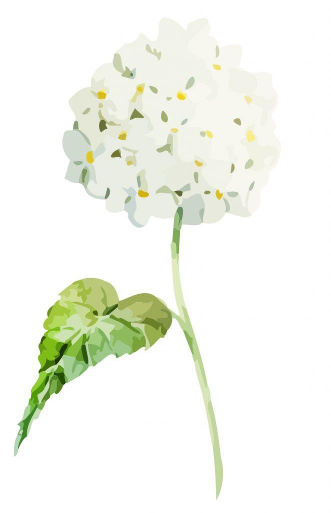 Soft white Hydrangea flowers