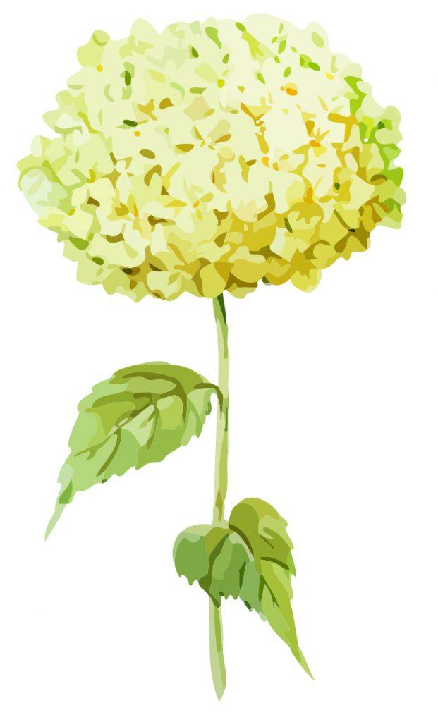 Gorgeous yellow Hydrangeas
