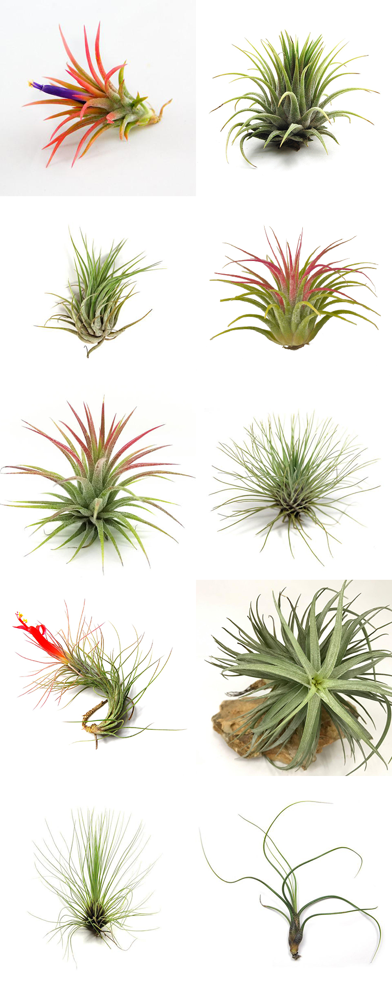 The Best Air Plants And How To Grow Them On The Cottage Market