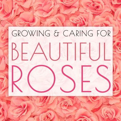 Growing and Caring for Beautiful Roses