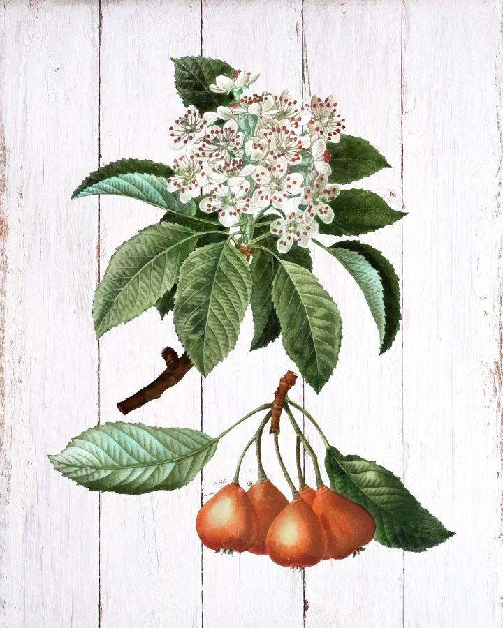 These Free Printable Farmhouse Fruit Vignettes are going to add a touch of Vintage Charm to your Home!