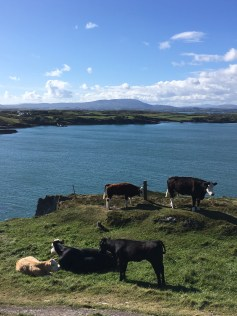 Cows in Ireland_1