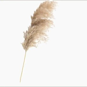 Corta Dried Pampas Flower