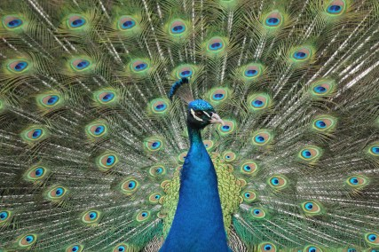 Peacock Fanning Up Close