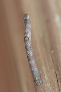 Twig-like Caterpillars 012 - Copy