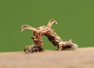 Twig-like Caterpillars 121 - Copy