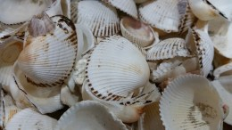 Seashells picked from a small stretch of beach edging the last hole of a golf course where our grandfather used to play