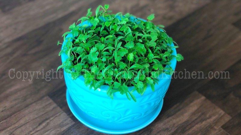 Cilantro in a pot/Container