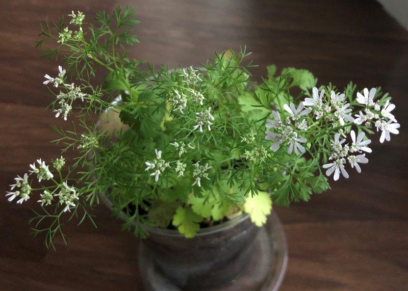 Coriander/cilantro flower
