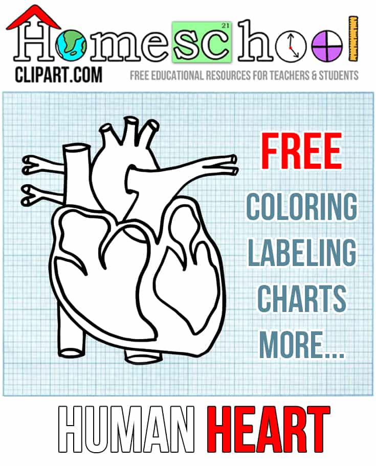 Heart Anatomy Printables