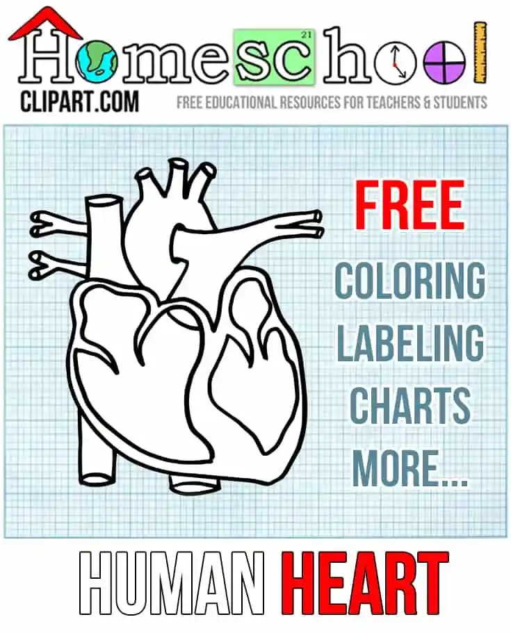 human heart worksheets