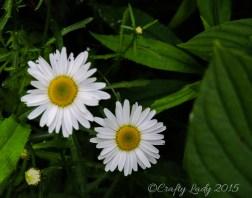daisy3 - use5