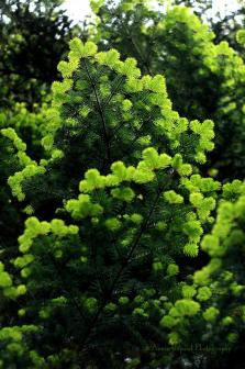 pine tree © Annie Japaud Photography