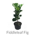 fiddleleaf fig