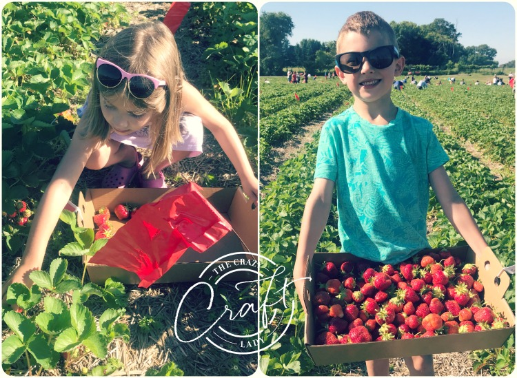 Picking Fresh Strawberries at a Strawberry Patch