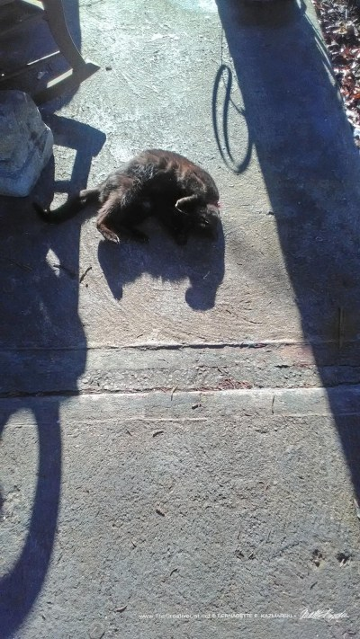 black cat rolling in sun