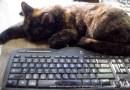 tortoiseshell cat at keyboard