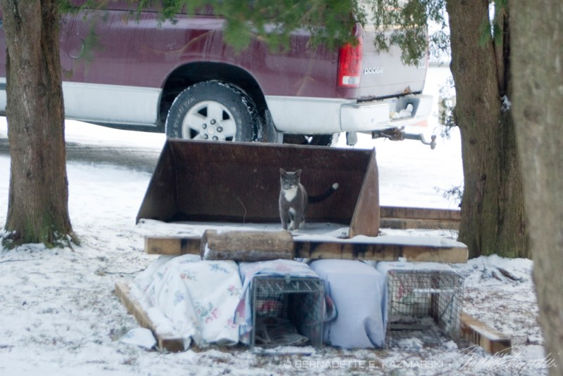 traps for stray cats