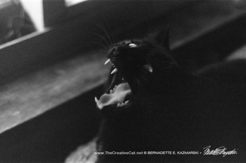black cat yawning in black and white
