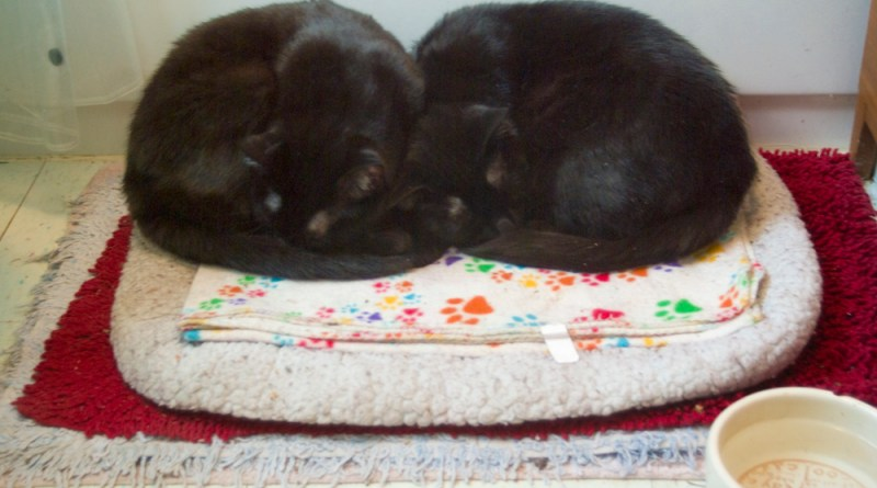 two black cats curled on bed