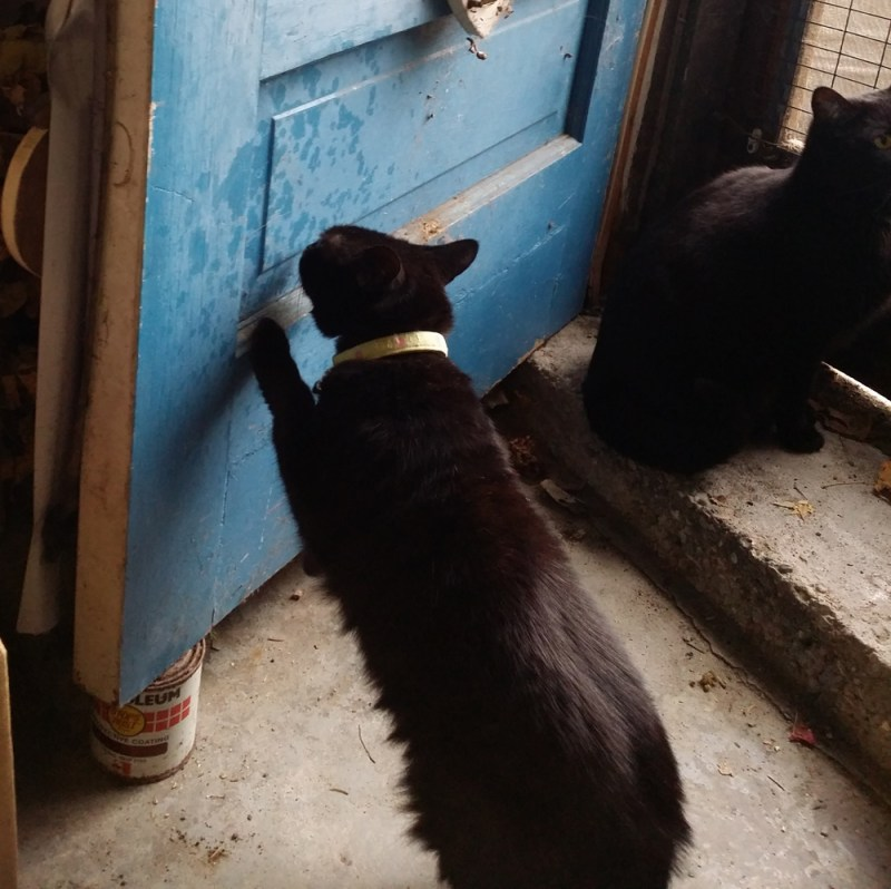 black cat sniffing door