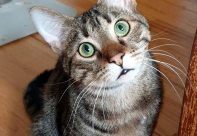 Cats for Adoption: Preston