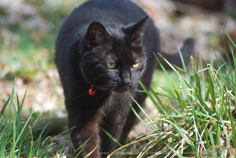 My little yard panther strolling about her territory.