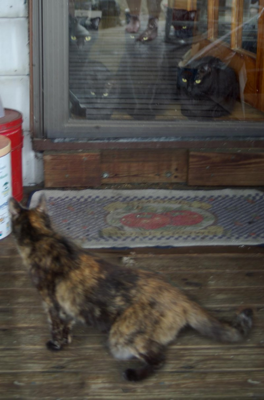 tortoiseshell cat on deck black cats inside