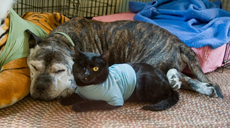 cat and pit bull