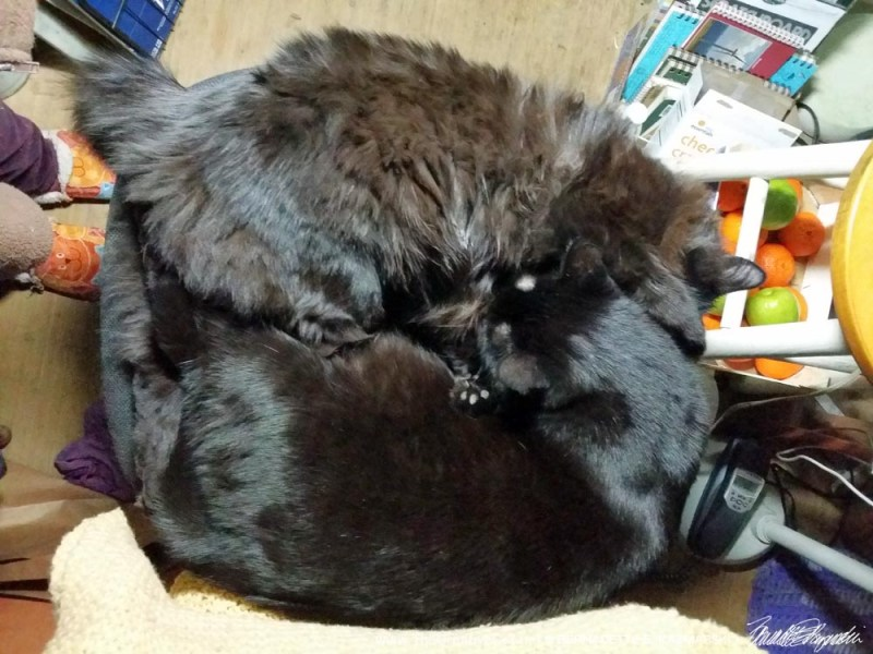 Curled to purr right into Smokie.