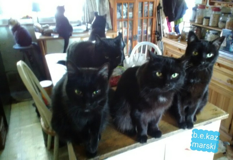 eight black cats
