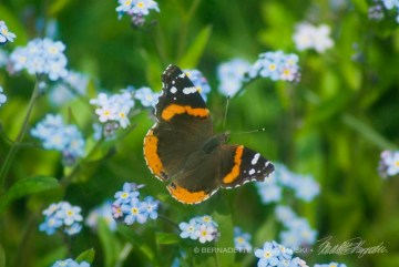 A red admiral on forget-me-nots.