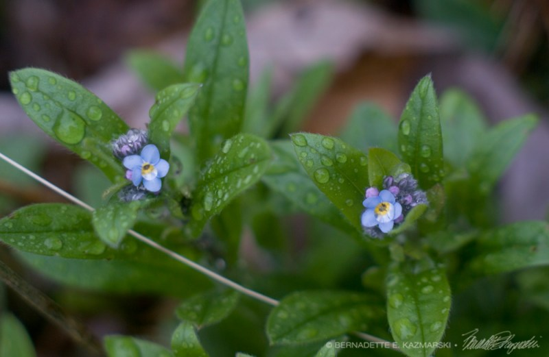 Forget-me-nots bloomed!