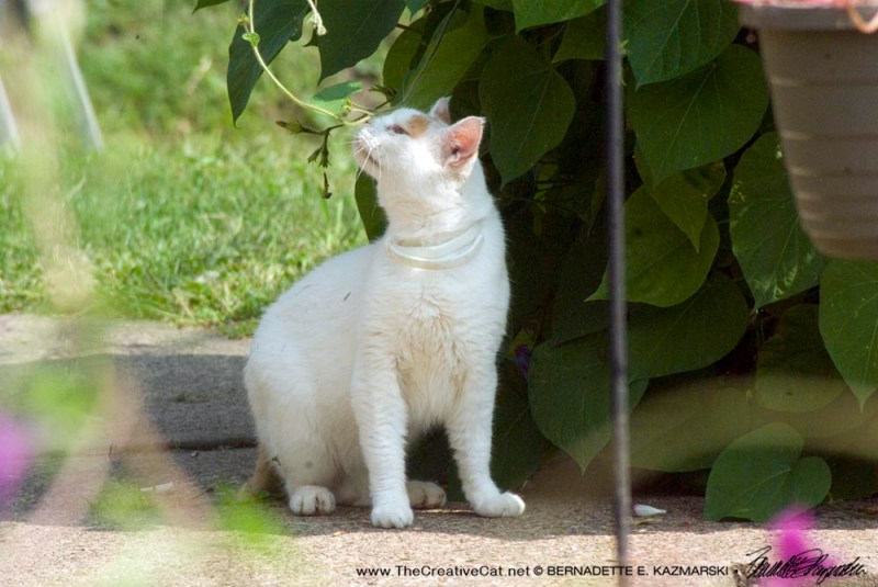 White cat with orange spots from down the street.