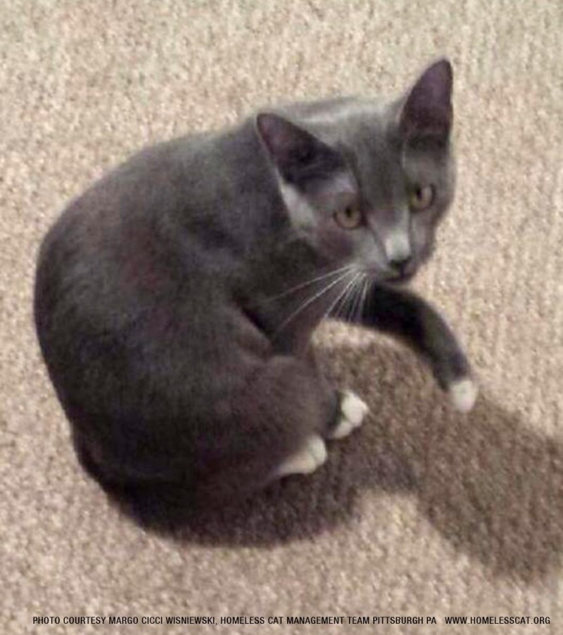 gray cat with white paws