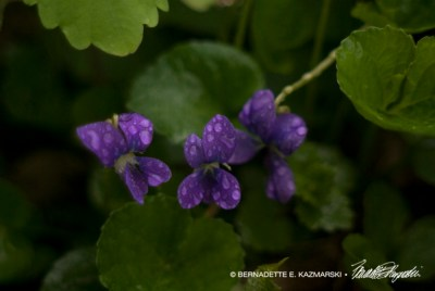 Rain-spattered violets looking very happy.