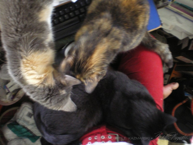 calico and tortoiseshell cat and black cat