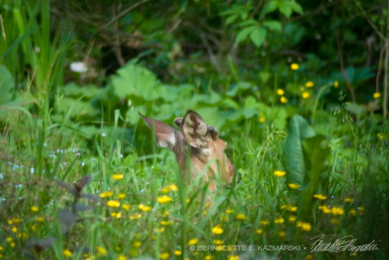 A buck sleeping in my back yard.