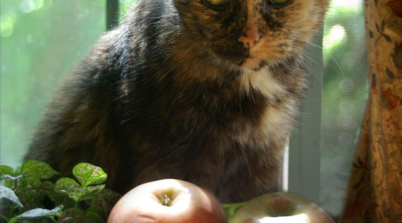 tortoiseshell cat with apples