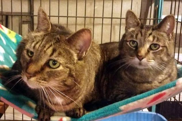 Cats for Adoption: A Bunch of Tabbies Ready to Go!