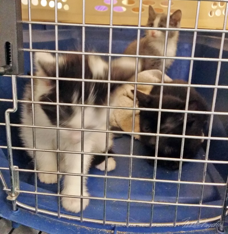 four kittens in carrier