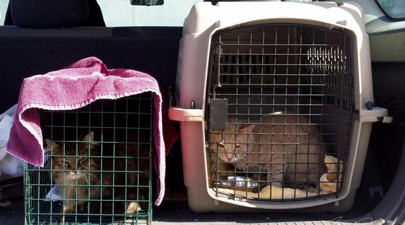 two cats in carriers in car