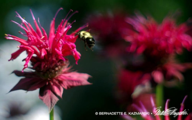 A bumblebee visits the bee balm.