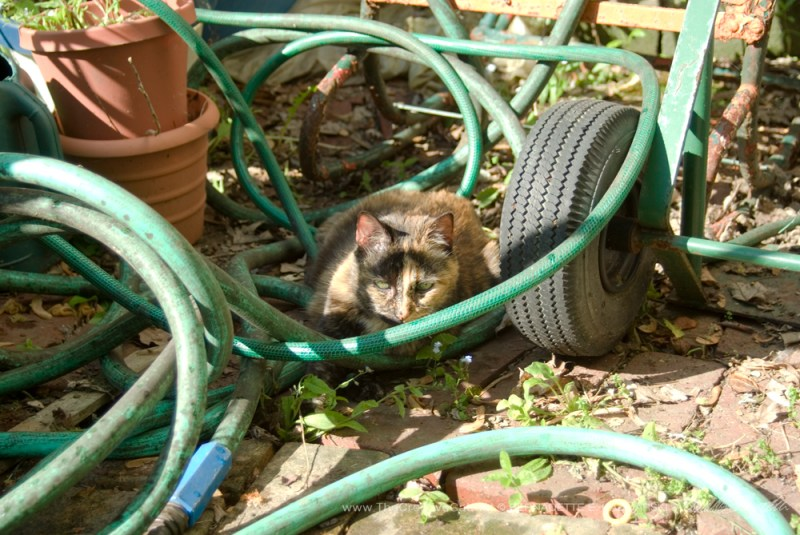 Cookie nestling into the garden hose.