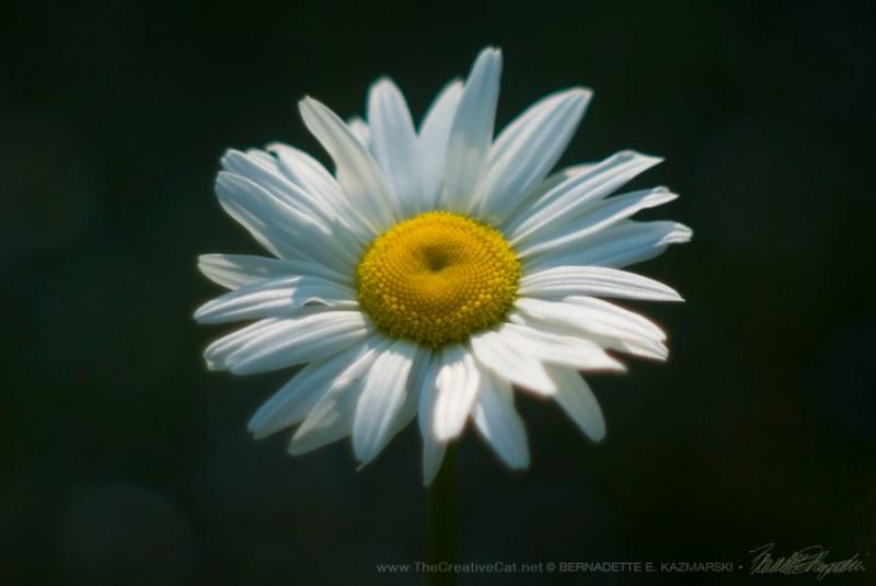 """A happy daisy in the garden path."""