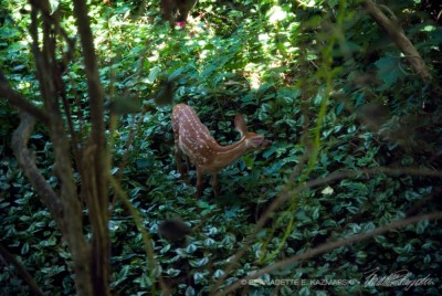 The fawn walking along my footpath in the rock garden.